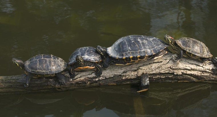 big-yellow-bellied-turtles