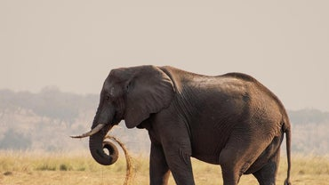 What Is the Biggest Elephant?