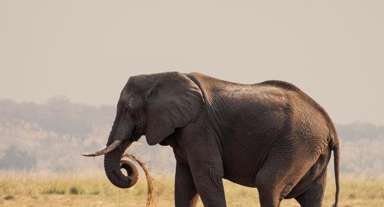 biggest-elephant
