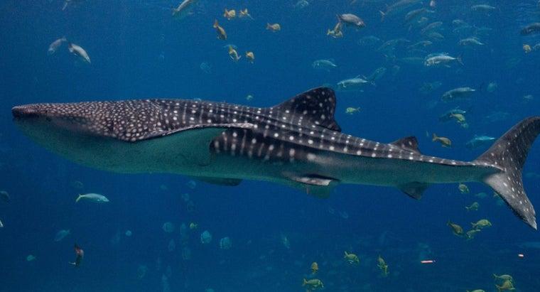 biggest-shark-ever-found