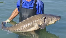 What Was the Biggest Sturgeon Ever Recorded?