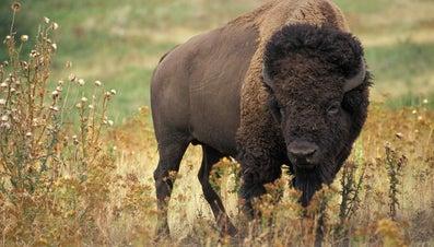 Where Do Bison Live?