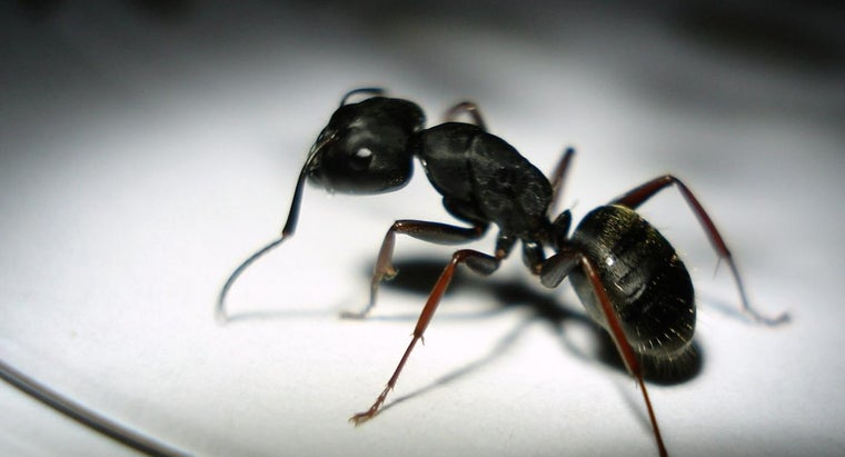 black-ants-bite-people