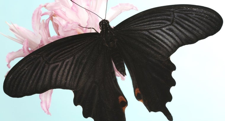 black-butterfly-symbolize