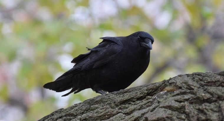 black-crow-symbolize