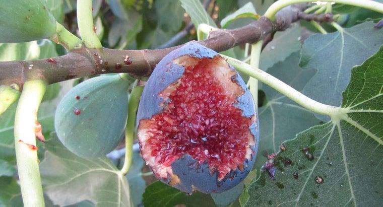 black-mission-fig-tree