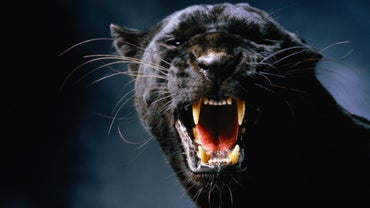What Do Black Panthers Eat?