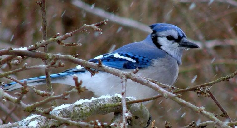 blue-jay-symbolize