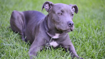 What Is a Blue Pitbull?