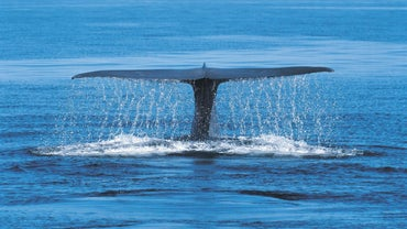 Are Blue Whales Omnivores?