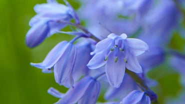 When Do Bluebells Bloom?
