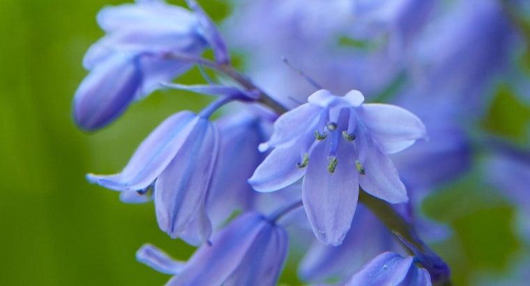 bluebells-bloom