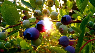 Where Do Blueberries Grow?