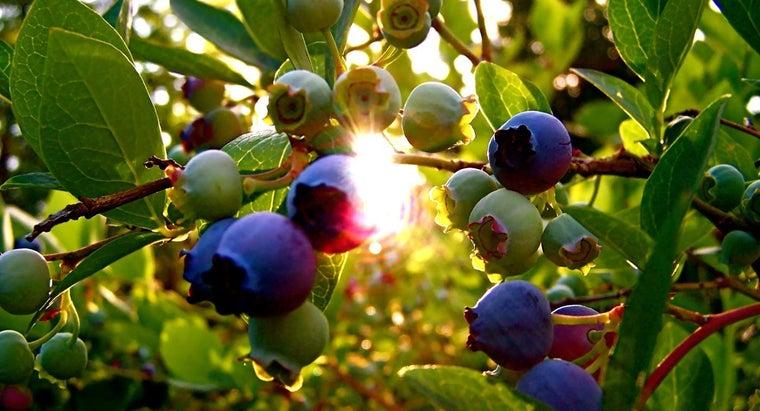 blueberries-grow