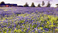 Where Do Bluebonnets Grow?