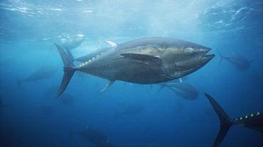 When Is Bluefin Tuna Season?