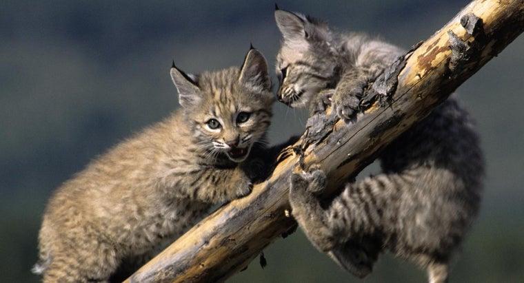 bobcat-screams-sound-like
