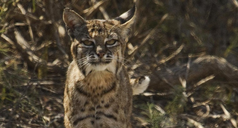 bobcats-survive