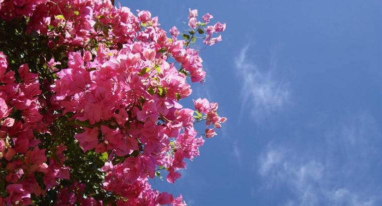 bougainvillea-plants-poisonous