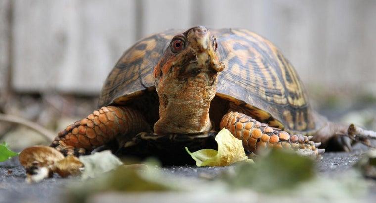box-turtle-eat