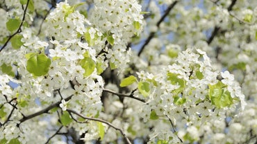 Do Bradford Pear Trees Bear Fruit?