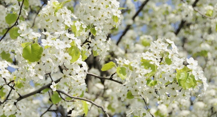 bradford-pear-trees-bear-fruit