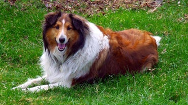 What Breed of Dog Was Lassie?