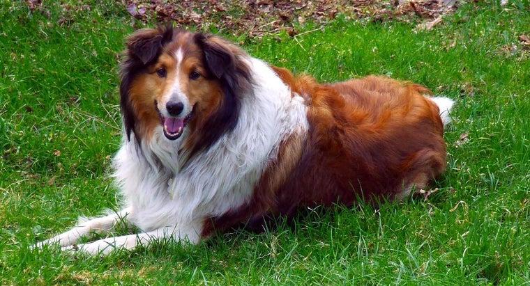 breed-dog-lassie
