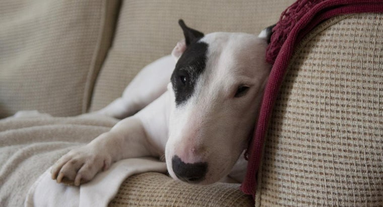 breed-english-bull-terriers