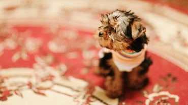 What Breeds of Dog Are Teacup Size?