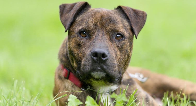 brindle-pit-bull-puppies