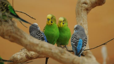 When Do Budgies Breed?