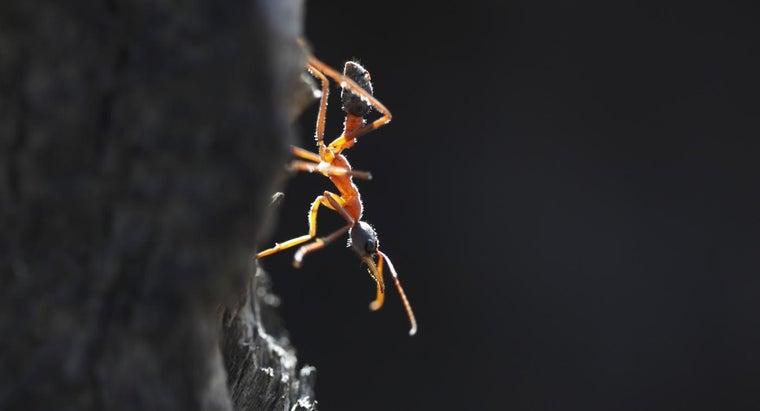 bull-ant