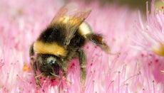 Where Do Bumblebees Nest?