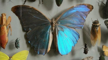 What Is a Butterfly Collector Called?