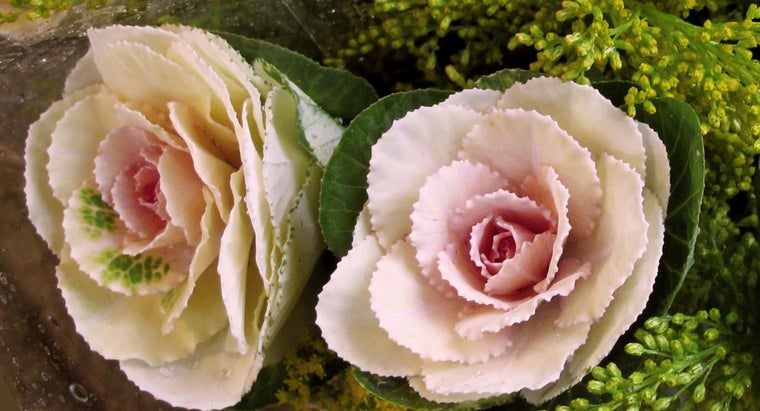 cabbage-rose-look-like