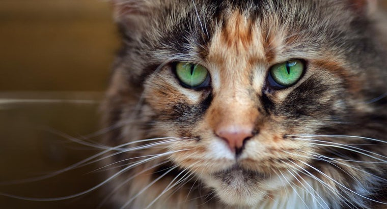 calico-maine-coon