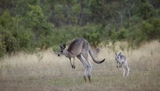 What Do You Call a Baby Kangaroo?