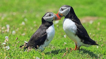 What Do You Call a Baby Puffin?