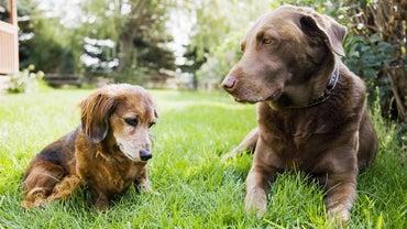 What Do You Call a Labrador Dachshund Mix?