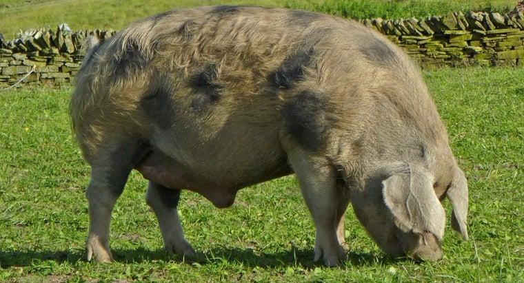 call-male-pig