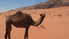 How Do Camels Live in the Desert?