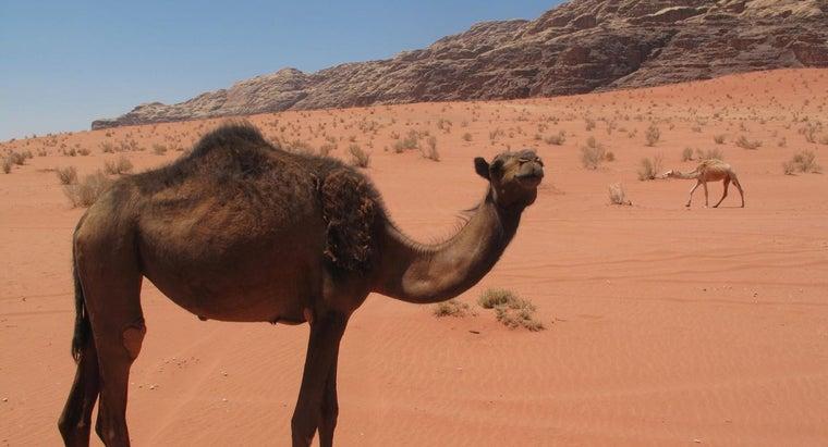 camels-live-desert