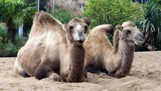 How Do Camels Protect Themselves From Predators?