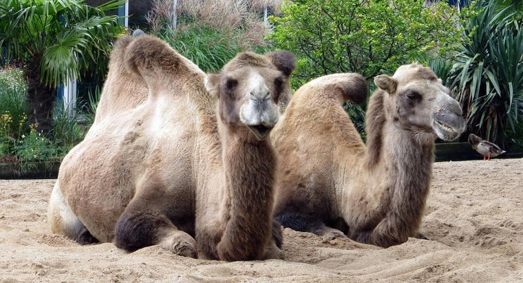 camels-protect-themselves-predators