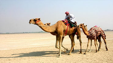 How Do Camels Survive in the Desert?