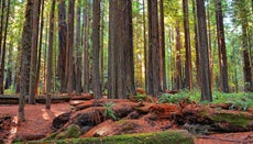 Is Camping Allowed in the Redwood Forest?