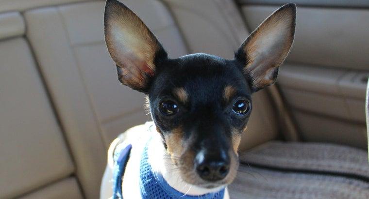 can-adopt-buy-mini-fox-terrier