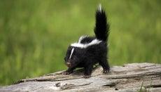 Can Baby Skunks Spray?