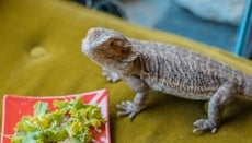 Can Bearded Dragons Eat Broccoli?